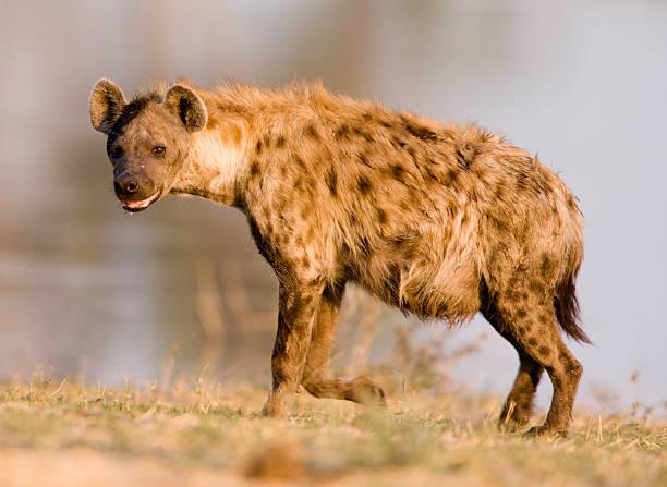 close shot of a hyena standing - hyena stockfoto's en -beelden