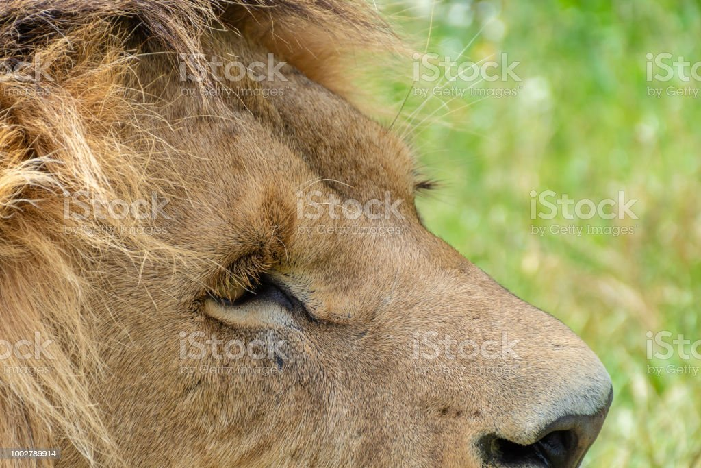 Close shot of a male lion face stock photo