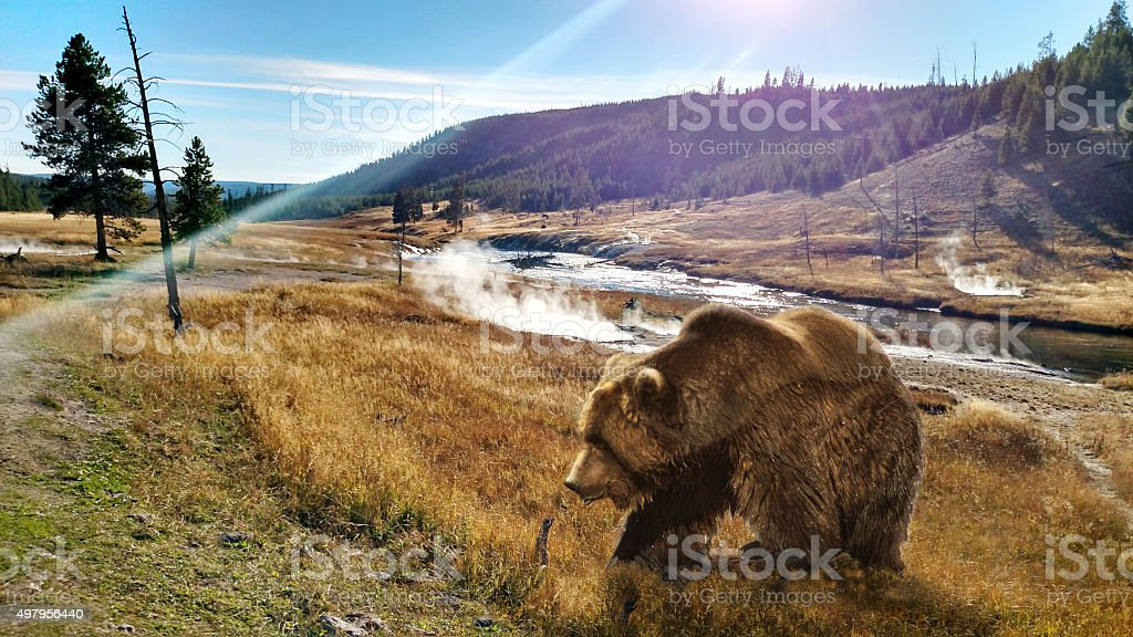 Close to a Grizzly Bear at Yellowstone stock photo