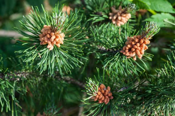 nära pinus sylvestris linne - scots pine tree in bloom - fur bildbanksfoton och bilder