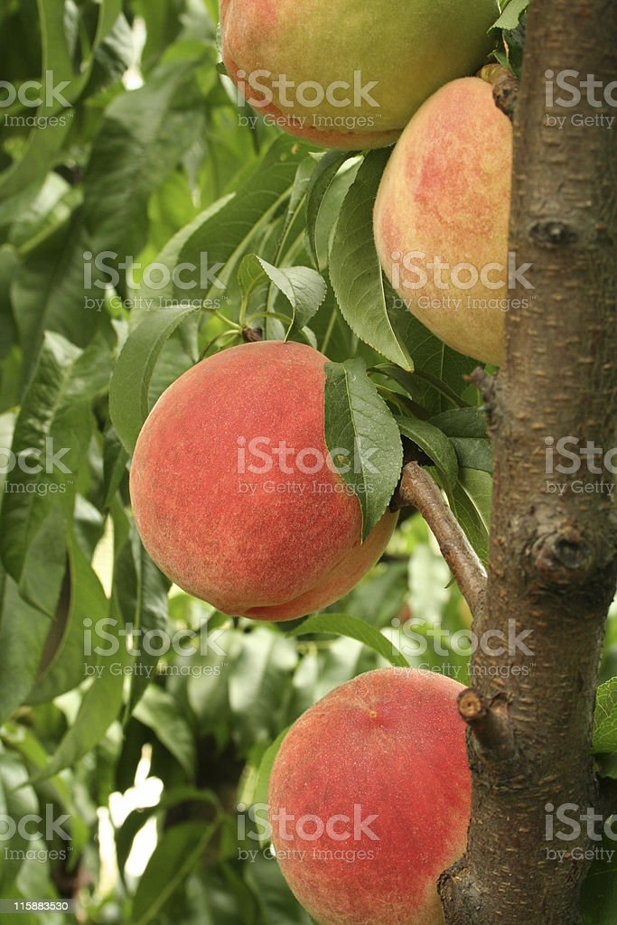 Close up, 4 peaches on a tree, ready to pick stock photo