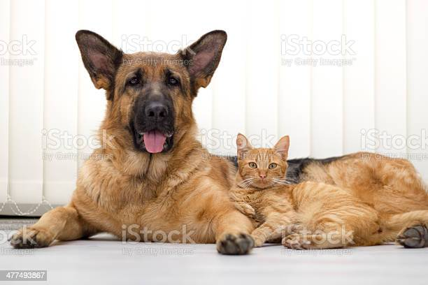 Close up a beautiful cat and dog together lying picture id477493867?b=1&k=6&m=477493867&s=612x612&h=qgao3vjnuf5dcqzlfldaw9hftnxcgdsxczh9df5ste0=