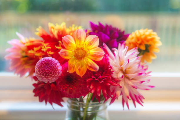 Close up, a bouquet of vibrant colorful dahlia flowers in a glass jar vase. Indoors in front of window in farmhouse. stock photo