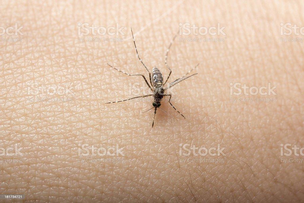 close up a mosquito sucking human blood macro photo stock photo