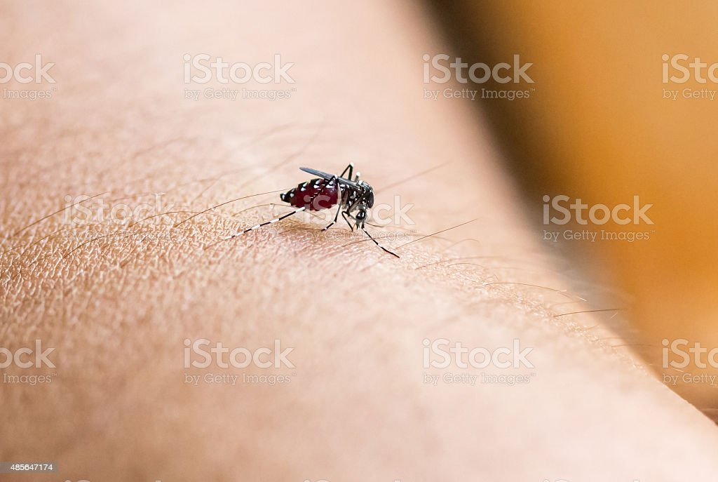 Close up a Mosquito sucking human blood stock photo