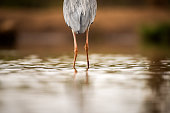 A close up abstract photograph of the legs of a Grey Heron bird standing in water, shot from behind, taken in the Madikwe Game Reserve, South Africa