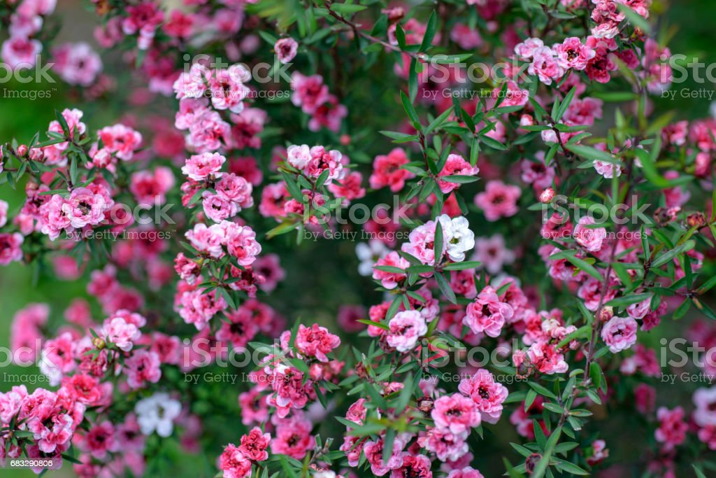 Close up abstract view of tiny pink flowers of the australian tea bush stock photo