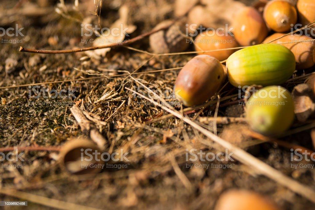 Close-up van eikels op grond, in nationaal park genaamd Oisterwijkse Plassen, Nederland foto