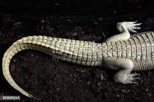 Close up shot of albino alligator tail resting on dirt in Florida