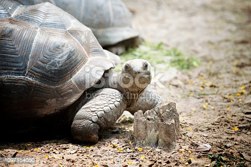 close up Aldabra giant tortoise