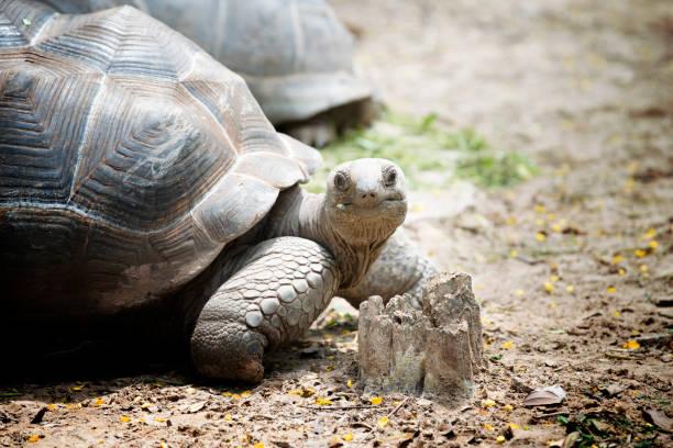 close up Aldabra giant tortoise - foto stock