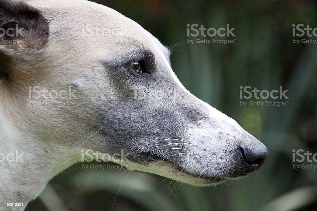 Close Up  Alert Face Of Whippet royalty-free stock photo