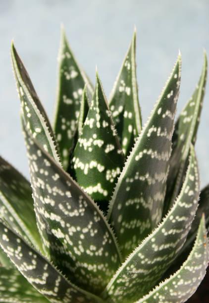 Aloe Vera Pflanze in Plastiktopf schließen – Foto