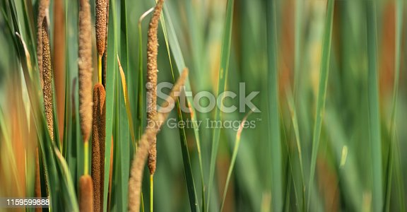 Close up and abstract image of Cattails with a shallow depth of field.