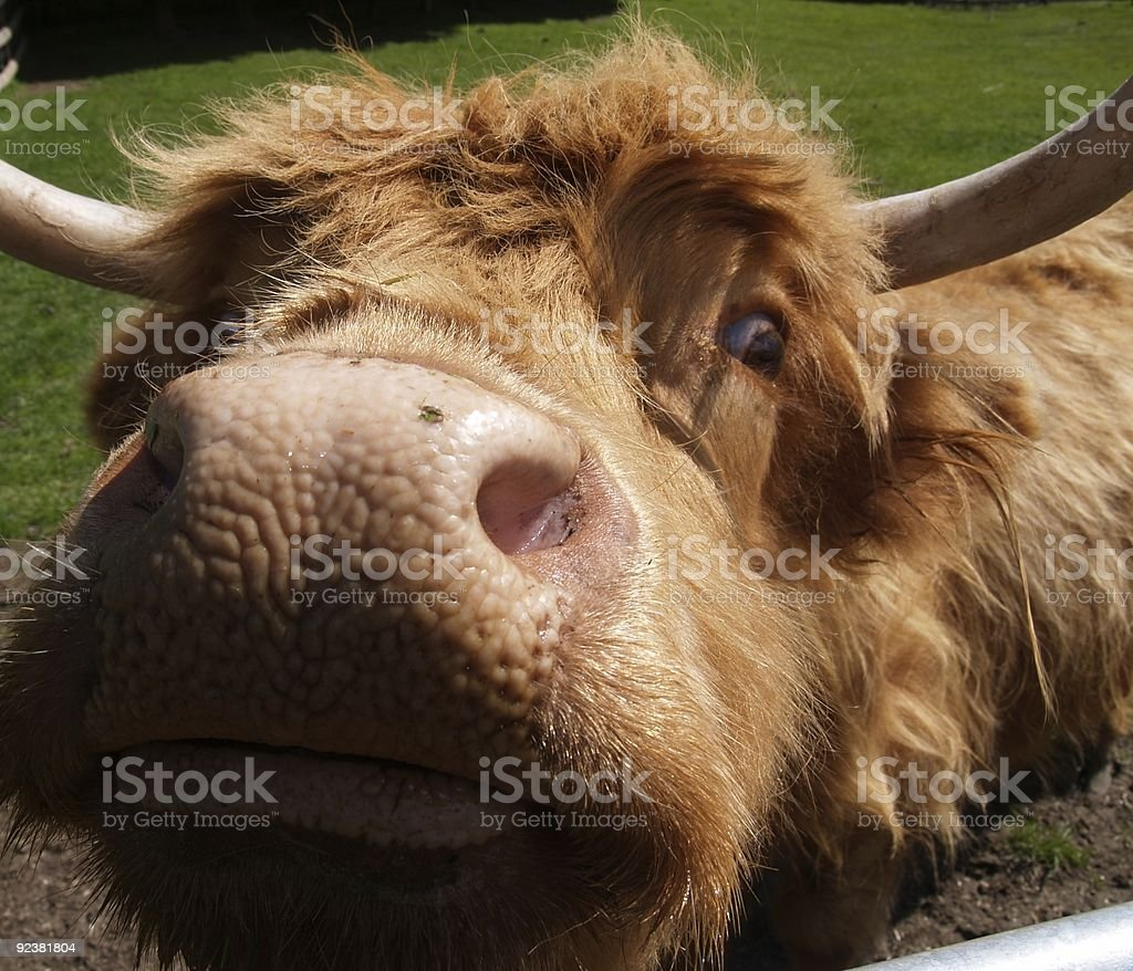 close up of head, nose and eye of the ancient Scottish cattle breed,...