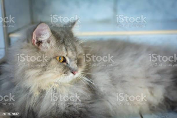 Close up animal persian cat sleeping in bed and light blur background picture id801827302?b=1&k=6&m=801827302&s=612x612&h=clbwk z6xotk5ssgugdmhbnwewittj3ockplvssz gi=