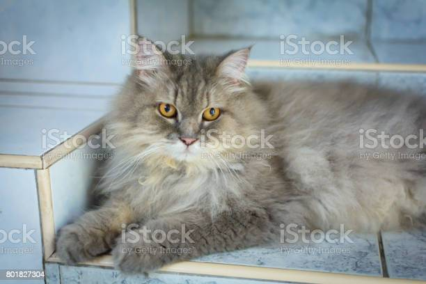 Close up animal persian cat sleeping in bed and light blur background picture id801827304?b=1&k=6&m=801827304&s=612x612&h=7e2rp30s79dgux1zgspeke8vyqte5hu1vmpof0alcxq=