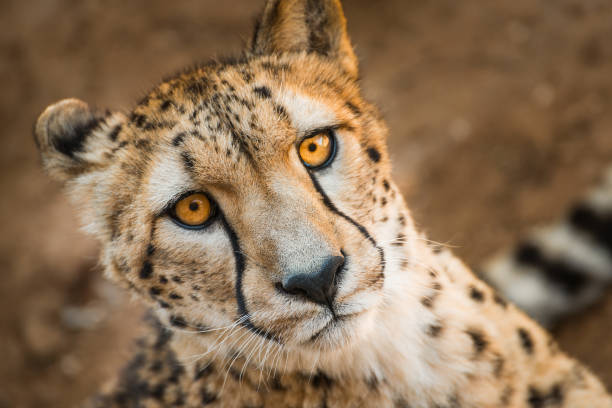 Close up animal portrait of Cheetah, African big cat, relaxing after having meal stock photo