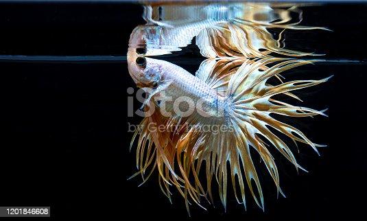 Close up art movement of Betta fish Siamese fighting fish isolated on black background.Fine art design concept.