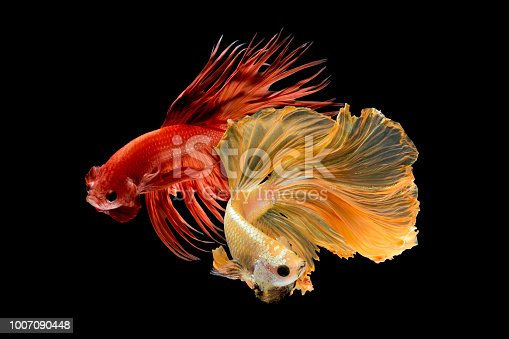 istock Close up art movement of Betta fish,Siamese fighting fish isolated on black background 1007090448