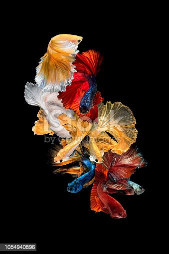 istock Close up art movement of Betta fish,Siamese fighting fish isolated on black background.Fine art design concept. 1054940896