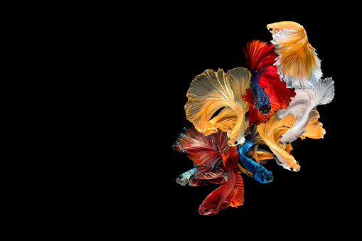 Close up art movement of Betta fish,Siamese fighting fish isolated on black background with copy space.Fine art design concept.