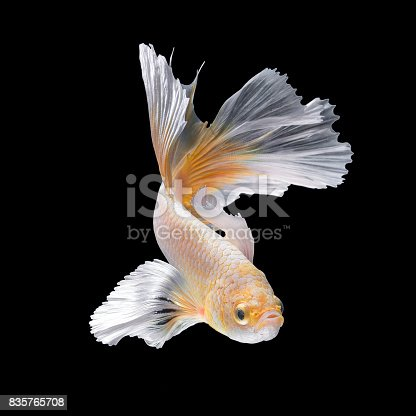 istock Close up art movement of Betta fish,Siamese fighting fish 835765708