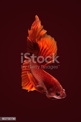 istock Close up art movement of Betta fish,Siamese fighting fish 922732730