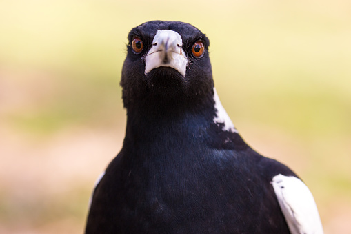 It's spring time in Australia as this magpie hunts for food on a hot day. finding a cache of seeds, he tries to collect them all in his beak at once. Notorious for swooping pedestrians and cyclists through the spring months, Magpies are a comical bird with a beautiful call and interesting behaviour