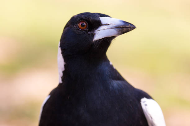 Close up Australian magpie hunts through the undergrowth for seeds and nuts stock photo