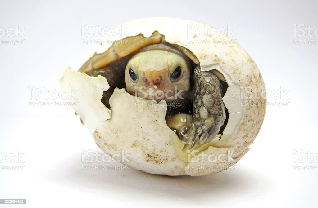Close Up Baby Tortoise Hatching (Elongated tortoise) stock photo