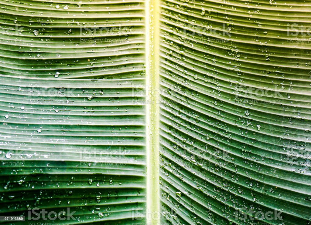 Close up banana leaf royalty-free stock photo