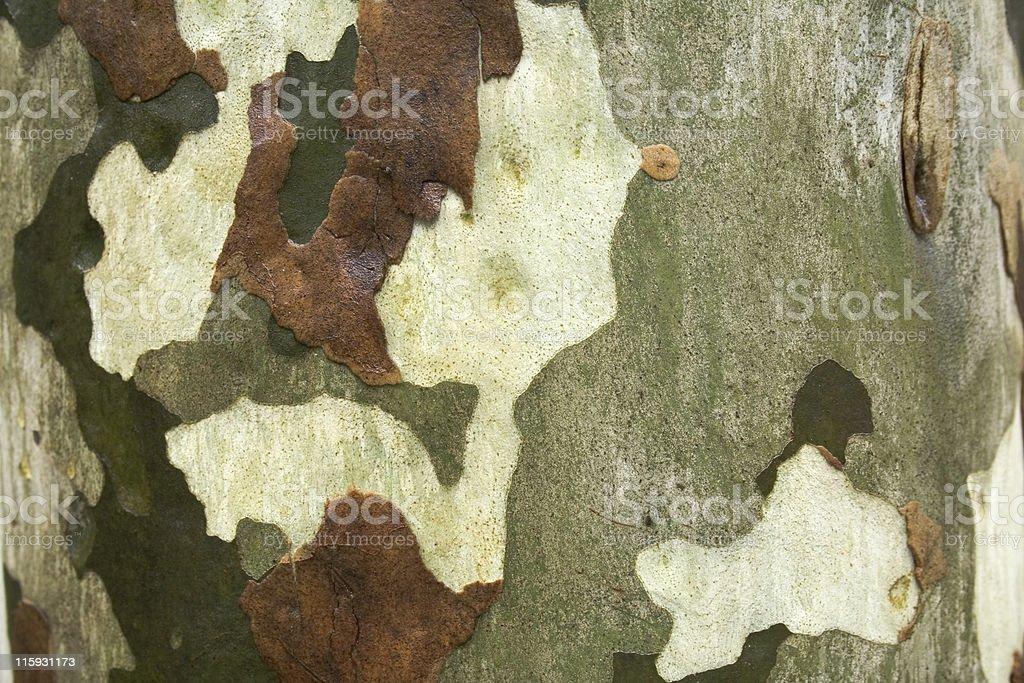 Close up, bark on eucalypt tree trunk royalty-free stock photo