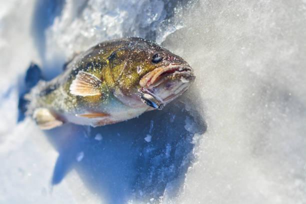 bass mit köder auf eis hautnah - crappie angeln stock-fotos und bilder