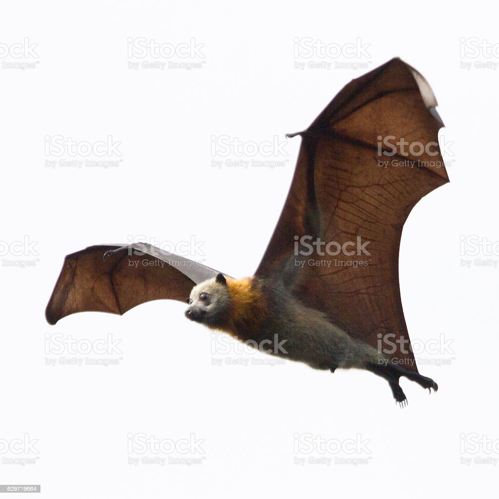 Close Up Bat in Flight stock photo