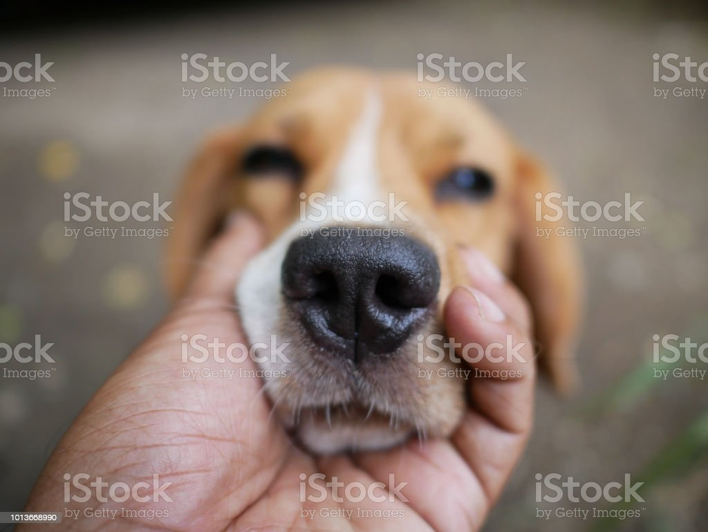 Close up beagle dog's nose, held by the owner's hand. stock photo