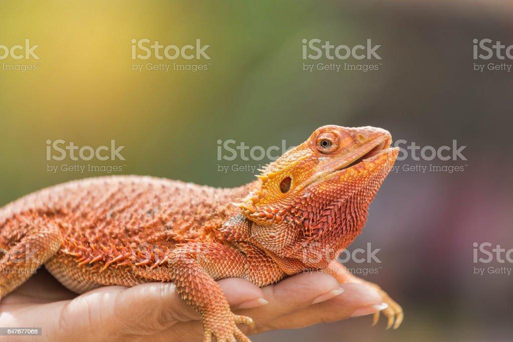 Nahaufnahme der Bartagame (Pogona Vitticeps) – Foto