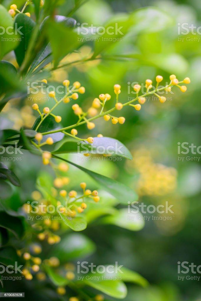 Close Up Beautiful Aglaia Odorata Flower Stock Photo & More