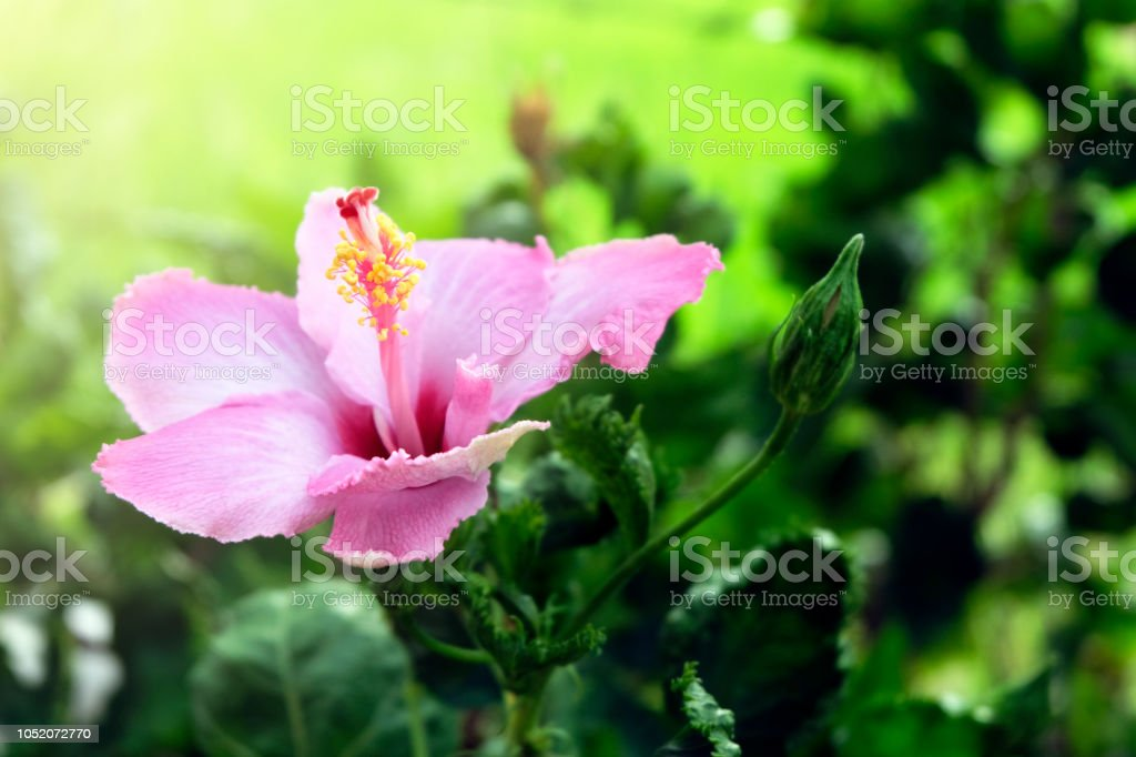 Close Up Beautiful Pink Flower Can Be Called Hibiscus Rosa China