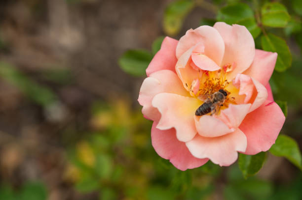Close Up Beautiful Pink Rose with Honey Bee in Summer Ornamental Garden stock photo