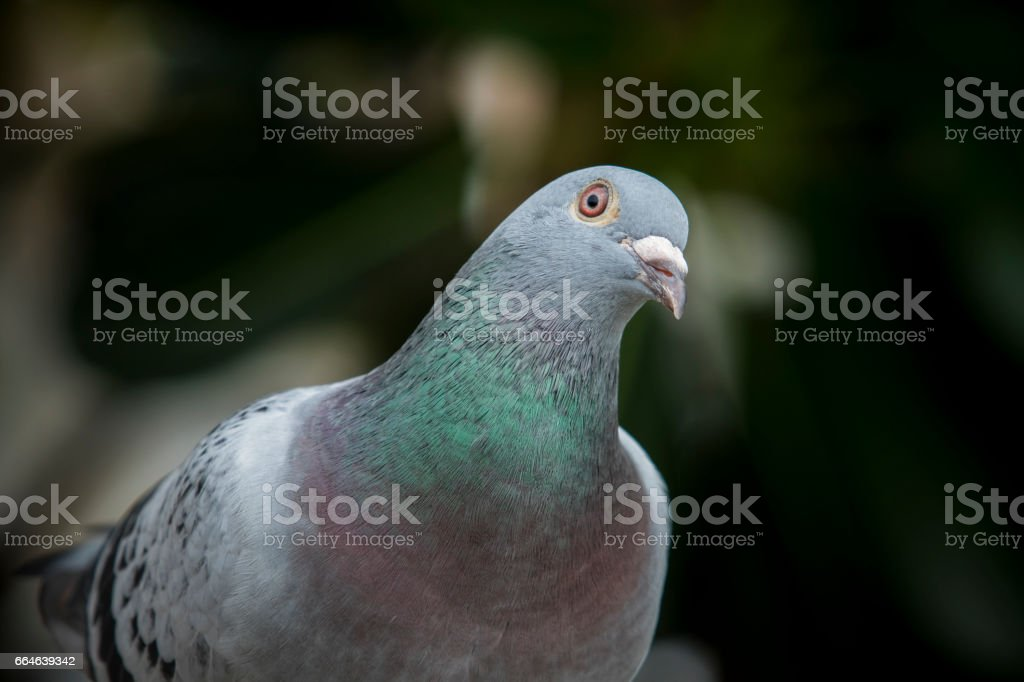 close up beautiful sport racing pigeon bird outdoor stock photo