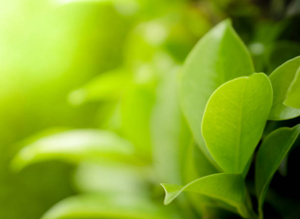 close up beautiful view of natural green leaves on greenery blurred background and sunlight in public garden park - nature stock pictures, royalty-free photos & images