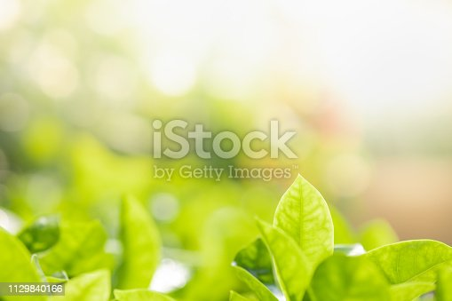 639809128istockphoto Close up beautiful view of nature green leaves on blurred greenery tree background with sunlight in public garden park. It is landscape ecology and copy space for wallpaper and backdrop. 1129840166