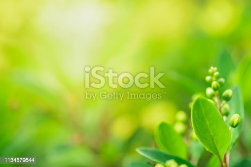 639809128istockphoto Close up beautiful view of nature green leaves on blurred greenery tree background with sunlight in public garden park. It is landscape ecology and copy space for wallpaper and backdrop. 1134879544