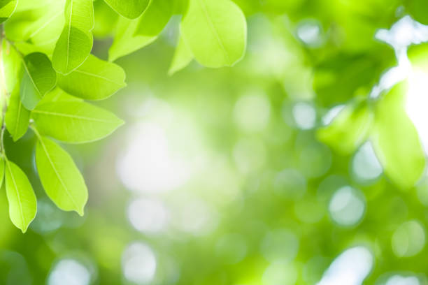 Close up beautiful view of nature green leaves on blurred greenery tree background with sunlight in public garden park. It is landscape ecology and copy space for wallpaper and backdrop. Close up beautiful view of nature green leaves on blurred greenery tree background with sunlight in public garden park. It is landscape ecology and copy space for wallpaper and backdrop. lush foliage stock pictures, royalty-free photos & images