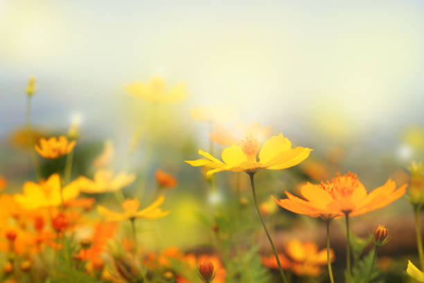 close up beautiful yellow flower and blue sky blur landscape natural outdoor background close up beautiful yellow flower and blue sky blur landscape natural outdoor background flower part stock pictures, royalty-free photos & images