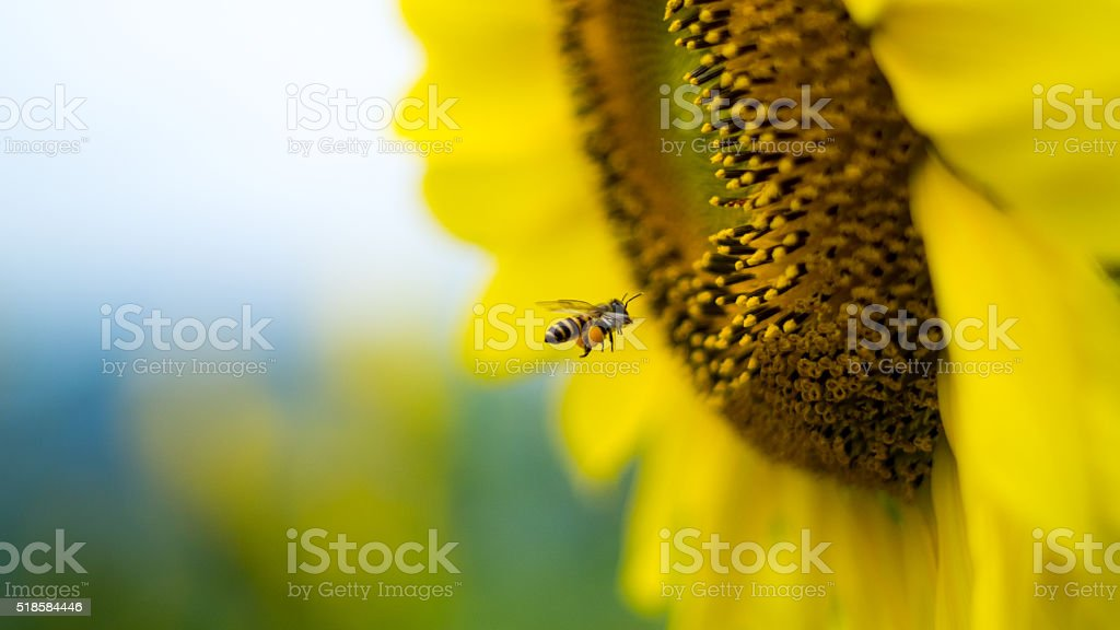 Close up Bee collecting sunflower stock photo