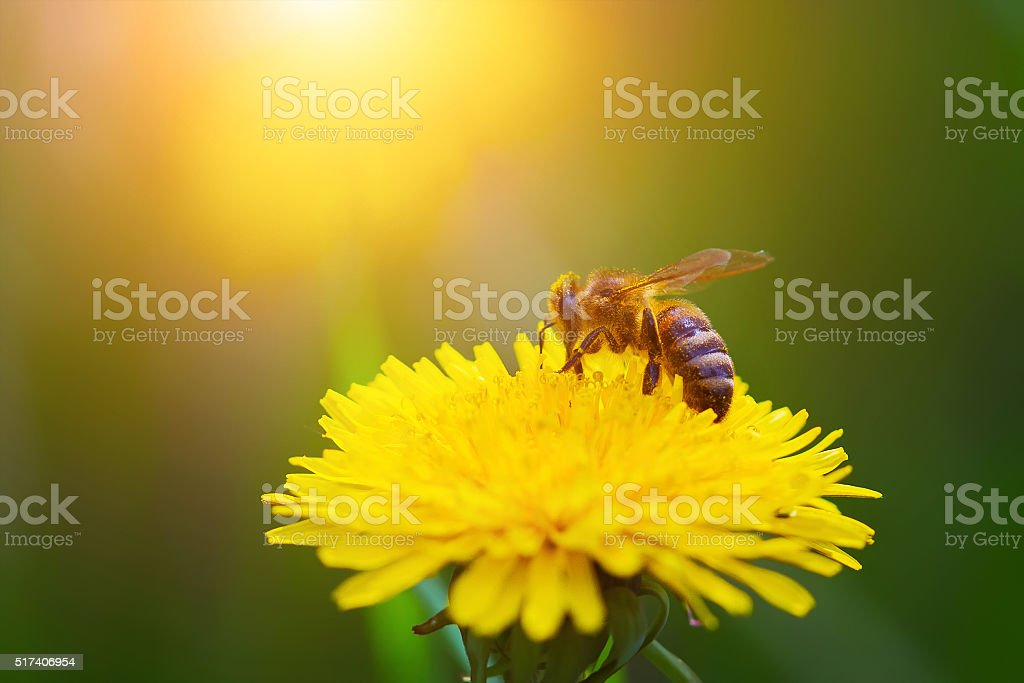 Close up bee on a yellow dandelion. stock photo