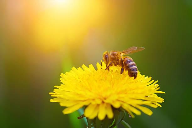 Nahaufnahme Biene auf gelber Löwenzahn. – Foto