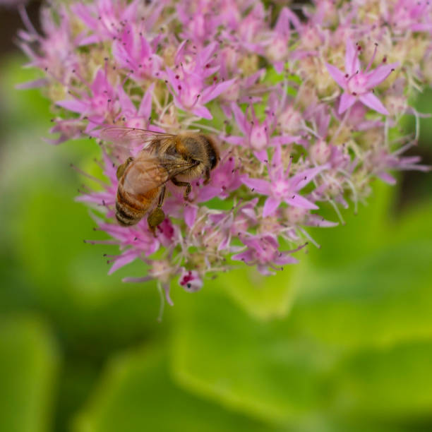 Close up bee on sedum flower bee on sedum flower kathrynsk stock pictures, royalty-free photos & images